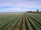 Flowering wide sown (greater than 50cm) lupins