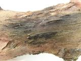 When bark is removed from the wood, a charcoal region is revealed and a mass of fruiting bodies can be seen protruding from the bark
