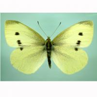 Cabbage white butterfly adult