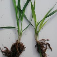 Iron deficiency in wheat induced by heavy liming