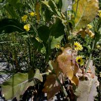 Late infected plants have leaf symptoms but little yield effect