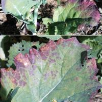Discolouration moves in from edges and resembles N or P deficiency
