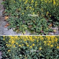 Often found in thin crop or edges