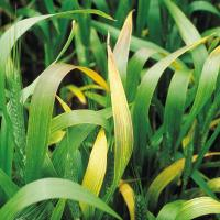 Leaves turn yellow from the tips and may have yellow stripes extending towards base.