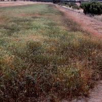 Plants are often affected first and most severely on paddock edges