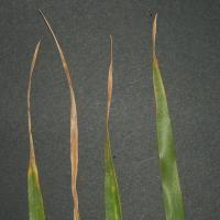 In severe cases yellow spotting occurs on older leaves.