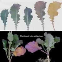 Mild purple pigmentation starts at the end of the leaf and progresses to the base on both sides of the leaf