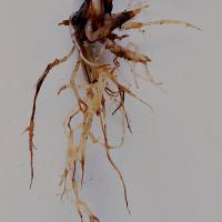 Roots of affected plants are short with characteristic pinched ends – 'spear tips'.