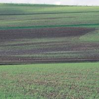 Affected plants occur in patches where soil is wetter