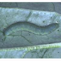 Cabbage white butterfly caterpillar