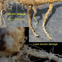 Roots may develop nodules that can resemble club root