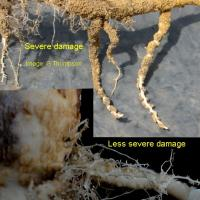 Group I herbicide damage can also cause root nodules