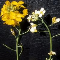 Sulphur deficient plants have pale flowers that abort or produce thickened twisted pods with few seeds