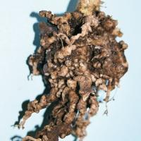 Severe clubroot infection