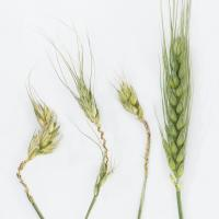 Image 1: Frost damage at booting vs healthy head