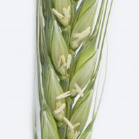 Frost affected anthers are white and distorted banana shaped) turning a dull brown colour