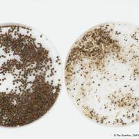 Healthy and frost damaged canola seed