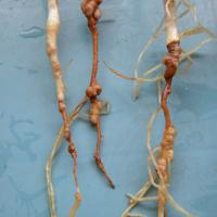 Tap roots often have red or brown lesions with the outer layer of the root stripped off