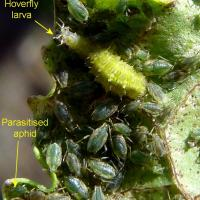 Green peach aphids and beneficial insects on leaf underside