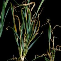 Plants form new tillers to compensate for growing point and tiller death