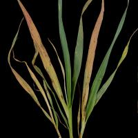 Oat plants show orange red leaves and usually die