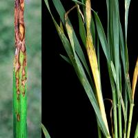 Most common symptoms light coloured lesions on sprayed leaves