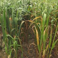 Worse septoria on K deficient plant