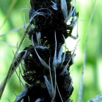 Seed replaced with a compact mass of dark brown-black powdery spores.