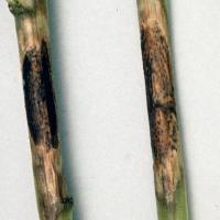 Phomopsis stem lesion before maturity