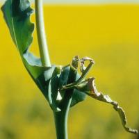 Flowering canola spike chewed by mice