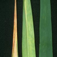 Reddening and inward rolling of leaf tips
