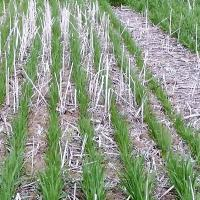 Phosporous deficienct oat plants appear smaller, darker and less tillered