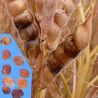 Discoloured pods and shrivelled golden brown seeds
