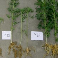 Smaller plants with thinner stems and fewer laterals