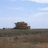 Havesting gm canola field
