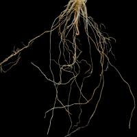 Roots can assume a noodle-like root thickening appearance. Affected primary roots are thin and poorly branched with fewer and shorter laterals with brown discolouration