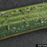 Russian wheat aphids on a leaf showing damage symptoms including curling and striping of leaf