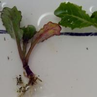Rhizoctonia affected seedlings develop red-brown hypocotyl lesions as shown by the middle seedling