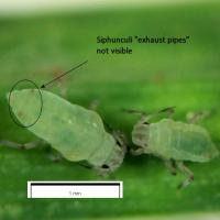 Close up image of Russian wheat aphid nymphs showing abscence of visible siphunculi