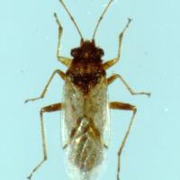 Rutherglen bug adult