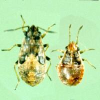 Rutherglen bug nymphs