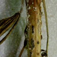 Stem rot fungal growth and sclerote on stem