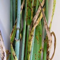 Spots elongate and join together,leaves turn yellow and die back from tips