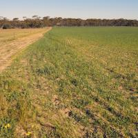 Infection spreads from green bridge cereals or pasture grasses
