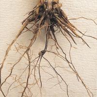 Roots of affected plants are blackened and brittle and break easily, and are black to the core not just on outer surface.
