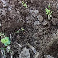 Reduced and delayed emergence