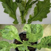 Varietal symptoms vary but leaf mottling and puckering is common