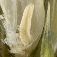 Image 4: Frost affected ovaries turn a dull brown colour and are spongy when squeezed. A frost affected stigma takes on a crumpled appearance