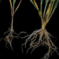Waterlogged roots (particularly seminal roots, tips) become brown then die
