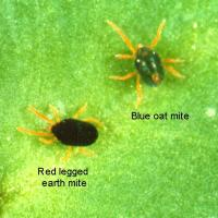 Red legged earth mite and Blue Oat mite